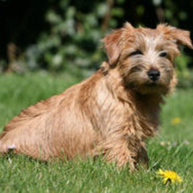 Elevage de Norwich Terrier en Nord-Pas-de-Calais