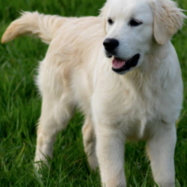 prix dun golden retriever en elevage prix dun golden