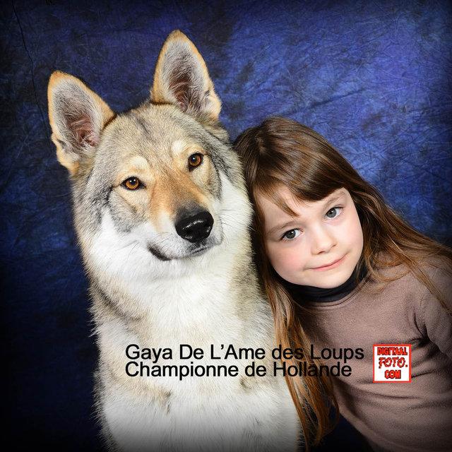 Les 233 levages de chien loup tch 233 coslovaque 224 fretin
