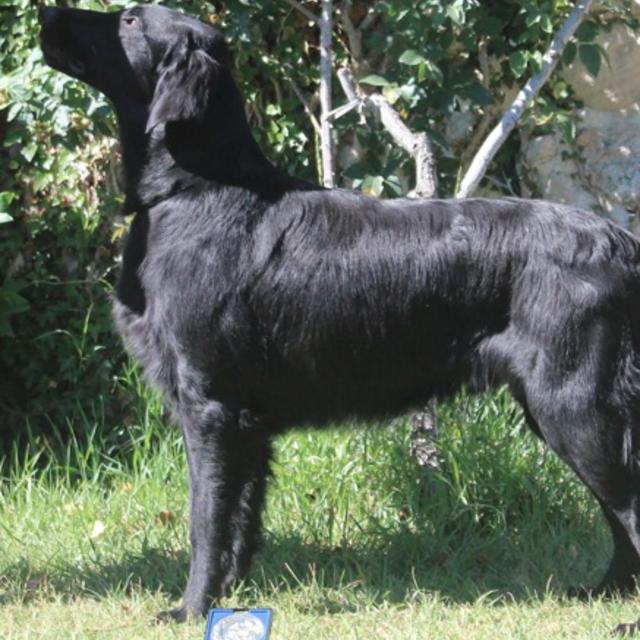 Elevage de Flat-Coated Retriever à Sallanches