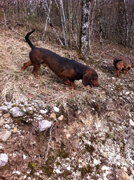 Elevage de Basset des Alpes à Chevillard
