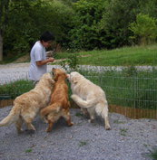 Elevage de Golden Retriever à Uhart-Mixe