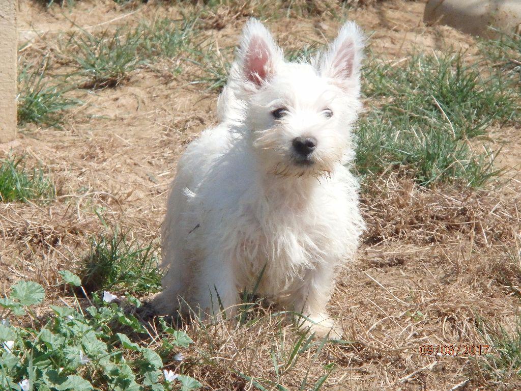 Elevage de West Highland White Terrier à Bussières