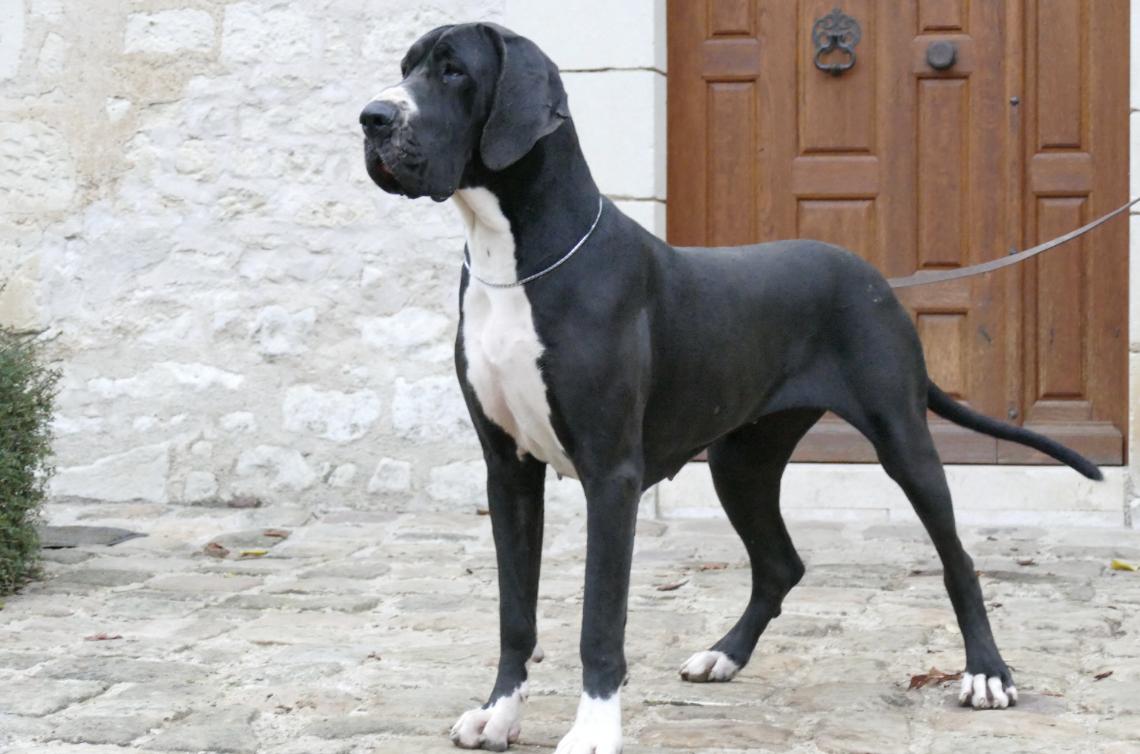 Elevage de Dogue Allemand à Marcilly-sur-Vienne